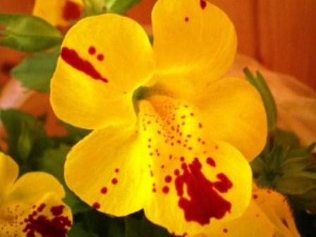 گل ها ی باک Mimulus