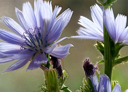 Chicory Key Symptoms
