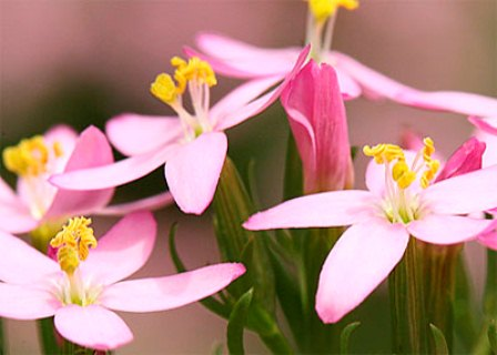 Centaury Key Symptoms