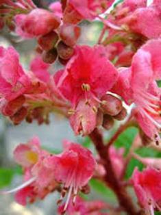 (Red Chestnut (Aesculus Carnea