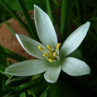 Star Of Bethlehem Key Symptoms