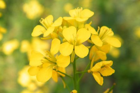 Mustard Key Symptoms