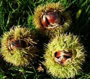 Sweet Chestnut Key Symptoms